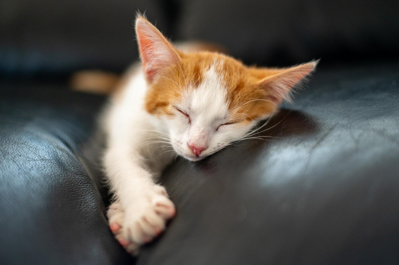 Kæledyr Kattekilling