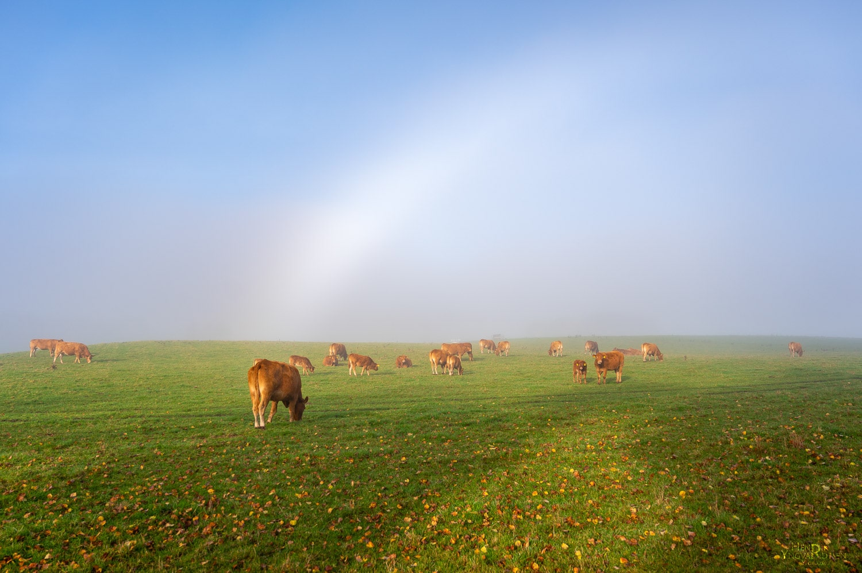 Køer på marken indsvøbt i tåge - Natur - Yfoto.dk