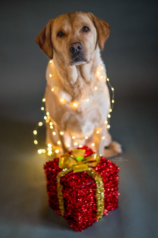 Julehunden Laika med julegave og lys
